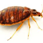 Bed Bug