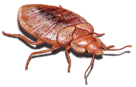What Does A Bedbug Look Like?