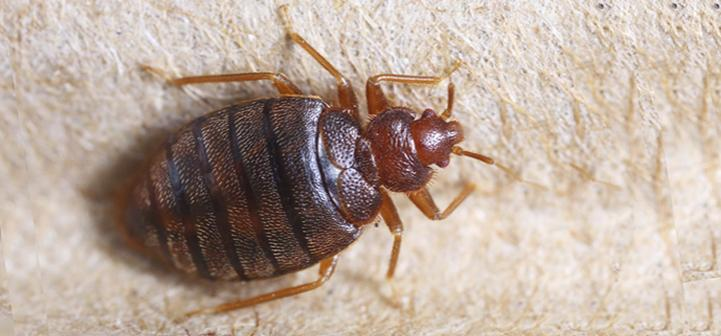 How Much Does Bed Bug Extermination Cost